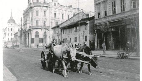 451910_volovi-u-beogradu_f